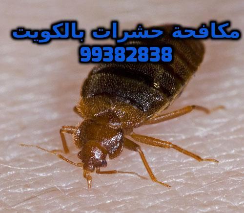 اضرار حشرة البق بالكويت 99382838
