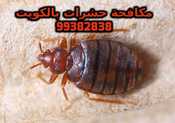 طرق التخلص من البق في الكويت 99382838