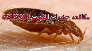 اضرار بق الفراش في الكويت 99382838