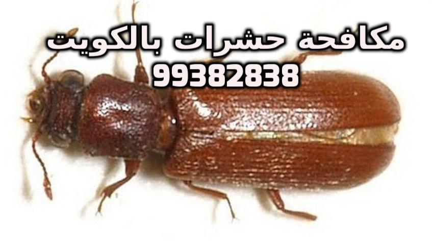حشرة السوس الخشب في الكويت 99382838