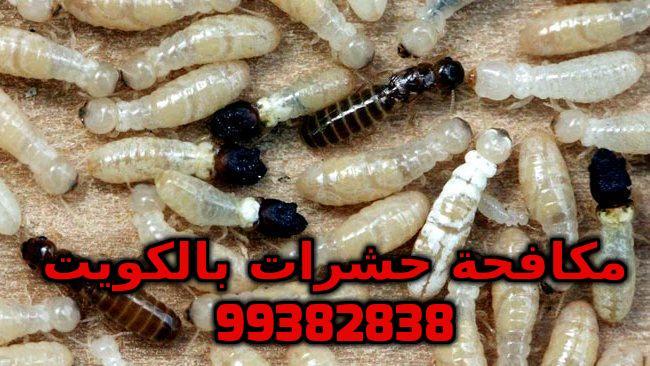 مكافحة النمل الأبيض في الكويت 99382838
