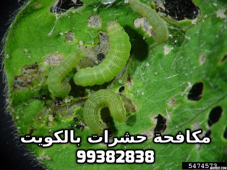 مكافحة الديدان القارضة في الكويت 99382838