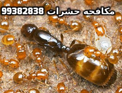 مكافحة النمل الابيض قبل البناء في الكويت 99382838