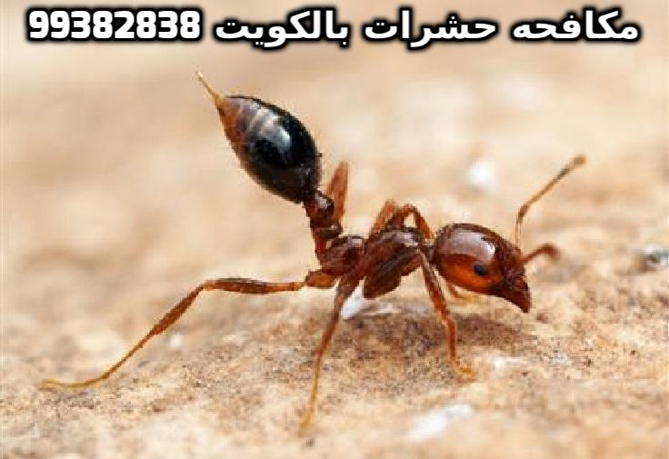 كيف اتخلص من النمل الاسود في الكويت 99382838