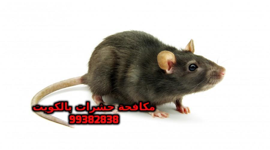 القضاء على الجرذان في المجاري 99382838